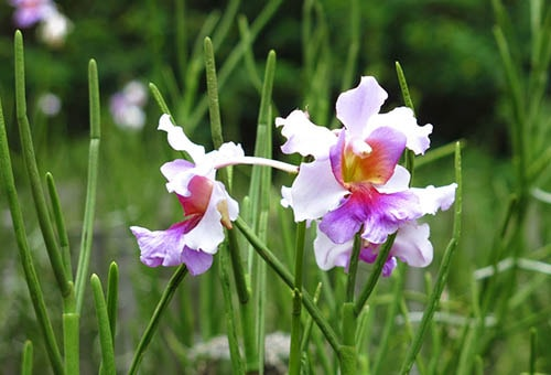 Singapore's National Flower: The Hybrid Orchid
